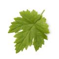 Single fresh grape leaf - PhotoDune Item for Sale