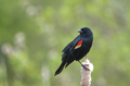 Red-winged Blackbird Male - PhotoDune Item for Sale