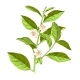 Hand Drawn Blooming Tea Plant Branch - GraphicRiver Item for Sale