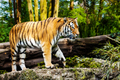 Tiger - PhotoDune Item for Sale