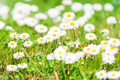Daisy flower on green meadow. White Daisies - PhotoDune Item for Sale
