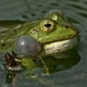 Frogs Croaking in a Swamp - AudioJungle Item for Sale