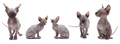 Collection of Bald Sphynx Kitten (cat) on white. - PhotoDune Item for Sale