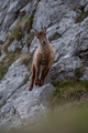 Alpine ibex mountain goats in the Alpine mountains - PhotoDune Item for Sale