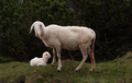 Sheep and her young cub in the hills - PhotoDune Item for Sale