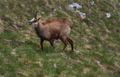 Chamois running up the hill in the mountains - PhotoDune Item for Sale
