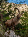 Alpine ibex mountain goats in the Alps - PhotoDune Item for Sale