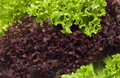 Selection of fresh mixed green salad leaves - PhotoDune Item for Sale