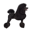 Puppy of black poodle - PhotoDune Item for Sale