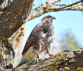 Red tailed hawk - PhotoDune Item for Sale