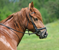 Profile portrait of horse - PhotoDune Item for Sale