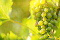A bunch of green grapes on a branch - PhotoDune Item for Sale