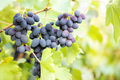 Bunch of ripe fragrant blue grapes on branch - PhotoDune Item for Sale