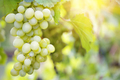 Bunch of sweet ripe grapes on a branch - PhotoDune Item for Sale