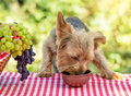 Dog eats food from clay bowl on table with red tablecloth - PhotoDune Item for Sale