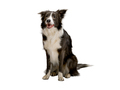 Border Collie dog on an isolated white background, alone, studio light - PhotoDune Item for Sale