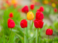 Spring flowers. Red, yellow and red-yellow tulips on a spring day - PhotoDune Item for Sale