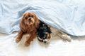 Two cute dogs in bed - PhotoDune Item for Sale