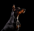 German Pinscher dog - PhotoDune Item for Sale