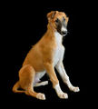 Puppy of Russian borzoi dog - PhotoDune Item for Sale