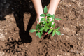 Woman planting young tomatoes plant at the garden. - PhotoDune Item for Sale