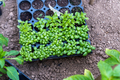 Young plants growing out of soil on the field - PhotoDune Item for Sale