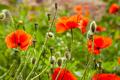 Red poppy flower on blurred bokeh background - PhotoDune Item for Sale