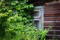 Old wooden window covered with plants - PhotoDune Item for Sale
