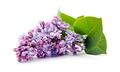 Branch of lilac (Syringa vulgaris) on white background - PhotoDune Item for Sale
