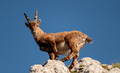 Alpine ibex in the high mountains - PhotoDune Item for Sale