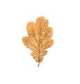 Oak dry leaf isolated on white - PhotoDune Item for Sale
