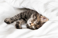 Cute little kitten looks out from under the blanket indoors - PhotoDune Item for Sale