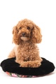 Apricot poodle, isolated on a white background - PhotoDune Item for Sale