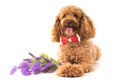 Small Apricot Poodle  Isolated On White Background - PhotoDune Item for Sale
