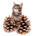 kitten with pine cones isolated on white - PhotoDune Item for Sale