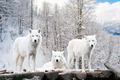 Arctic Wolves. White wolf in Winter Forest - PhotoDune Item for Sale