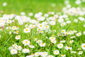 Spring Daisy. Beautiful meadow. Summer background - PhotoDune Item for Sale