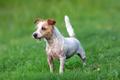 Portrait of Jack Russel Terrier - PhotoDune Item for Sale