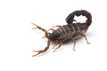 Yellow deadly dangerous scorpion top view isolated on white background - PhotoDune Item for Sale