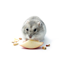 Hamster isolated on white background - PhotoDune Item for Sale
