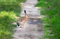 Hare at the forest path - PhotoDune Item for Sale