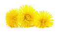 Dandelion flower isolated on white - PhotoDune Item for Sale