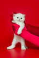 White British kitten in women's hands - PhotoDune Item for Sale
