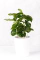 Coffee arabica in a pot - PhotoDune Item for Sale
