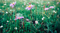 Beautiful Taraxacum flower on highland plain - PhotoDune Item for Sale