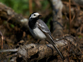 White wagtail (Motacilla alba) - PhotoDune Item for Sale