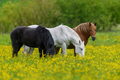 White, black and brown horse on field of yellow flowers - PhotoDune Item for Sale
