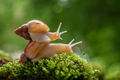 Giant snail (Achatina fulica) crawling on green moss - PhotoDune Item for Sale