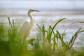 White heron, Great Egret. Water bird in the nature habitat. Wildlife scene - PhotoDune Item for Sale