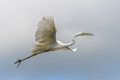 White heron, Great Egret, fly on the sky background. Water bird in the nature habitat - PhotoDune Item for Sale